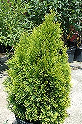 Highlights Arborvitae (Thuja occidentalis 'Janed Gold') at Wallitsch Garden Center