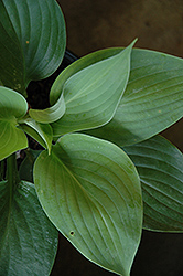 Empress Wu Hosta (Hosta 'Empress Wu') at Wallitsch Nursery And Garden Center