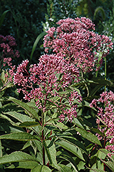 Gateway Joe Pye Weed (Eupatorium maculatum 'Gateway') at Wallitsch Garden Center