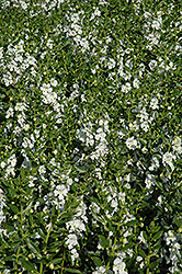 Angelface® White Angelonia (Angelonia angustifolia 'Angelface White') at Wallitsch Garden Center