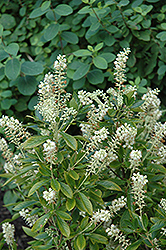 Hummingbird Summersweet (Clethra alnifolia 'Hummingbird') at Wallitsch Nursery And Garden Center