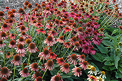 Cheyenne Spirit Coneflower (Echinacea 'Cheyenne Spirit') at Wallitsch Garden Center
