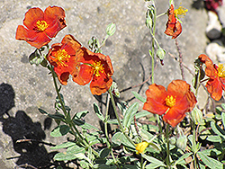 Henfield Brilliant Rock Rose (Helianthemum 'Henfield Brilliant') at Wallitsch Garden Center