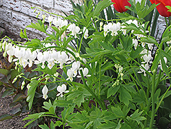 White Bleeding Heart (Dicentra spectabilis 'Alba') at Wallitsch Nursery And Garden Center
