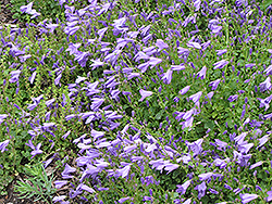Birch Hybrid Bellflower (Campanula 'Birch Hybrid') at Wallitsch Garden Center