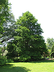 Katsura Tree (Cercidiphyllum japonicum) at Wallitsch Garden Center