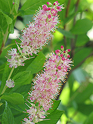 Ruby Spice Summersweet (Clethra alnifolia 'Ruby Spice') at Wallitsch Garden Center