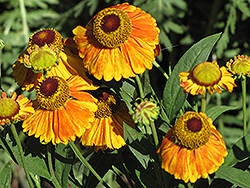 Mardi Gras Sneezeweed (Helenium 'Mardi Gras') at Wallitsch Nursery And Garden Center