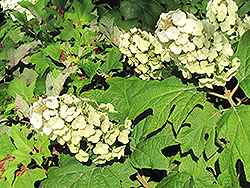 Snow Queen Hydrangea (Hydrangea quercifolia 'Snow Queen') at Wallitsch Garden Center