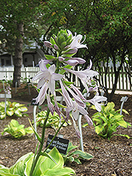 Fragrant Bouquet Hosta (Hosta 'Fragrant Bouquet') at Wallitsch Nursery And Garden Center