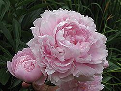 Double Pink Peony (Paeonia 'Double Pink') at Wallitsch Nursery And Garden Center
