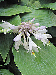 Halcyon Hosta (Hosta 'Halcyon') at Wallitsch Garden Center