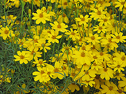 Zagreb Tickseed (Coreopsis verticillata 'Zagreb') at Wallitsch Nursery And Garden Center