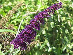 Black Knight Butterfly Bush (Buddleia davidii 'Black Knight') at Wallitsch Nursery And Garden Center
