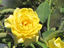 Mellow Yellow Rose (Rosa 'Mellow Yellow') at Wallitsch Garden Center