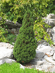 Jean's Dilly Spruce (Picea glauca 'Jean's Dilly') at Wallitsch Nursery And Garden Center