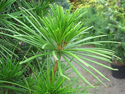 Joe Kozey Umbrella Pine (Sciadopitys verticillata 'Joe Kozey') at Wallitsch Nursery And Garden Center