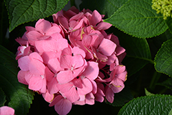 Let's Dance® Big Easy® Hydrangea (Hydrangea macrophylla 'Berner') at Wallitsch Nursery And Garden Center