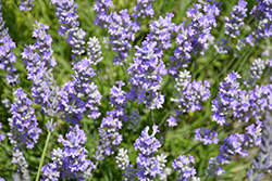 Blue Cushion Lavender (Lavandula angustifolia 'Blue Cushion') at Wallitsch Garden Center