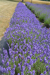 Hidcote Lavender (Lavandula angustifolia 'Hidcote') at Wallitsch Nursery And Garden Center
