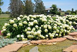 Incrediball® Hydrangea (Hydrangea arborescens 'Abetwo') at Wallitsch Nursery And Garden Center