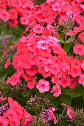 Peacock™ Cherry Red Garden Phlox (Phlox paniculata 'Peacock Cherry Red') at Wallitsch Garden Center