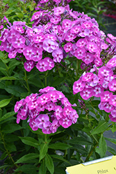 Laura Garden Phlox (Phlox paniculata 'Laura') at Wallitsch Nursery And Garden Center