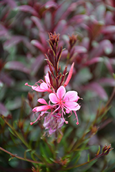 Passionate Rainbow Gaura (Gaura lindheimeri 'Passionate Rainbow') at Wallitsch Nursery And Garden Center