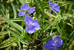 Amethyst Kiss™ Spiderwort (Tradescantia x andersoniana 'Radtrad') at Wallitsch Garden Center