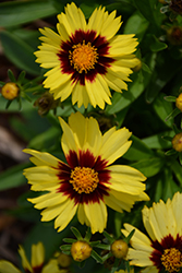 UpTick™ Yellow and Red Tickseed (Coreopsis 'Baluptowed') at Wallitsch Nursery And Garden Center