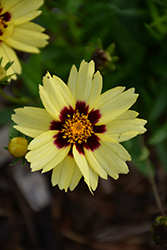 UpTick™ Cream and Red Tickseed (Coreopsis 'Balupteamed') at Wallitsch Nursery And Garden Center