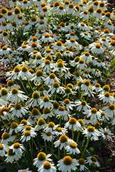 PowWow White Coneflower (Echinacea purpurea 'PowWow White') at Wallitsch Garden Center