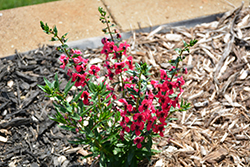Archangel™ Cherry Red Angelonia (Angelonia angustifolia 'Balarcher') at Wallitsch Garden Center