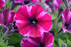 Crazytunia® Ultra Violet Petunia (Petunia 'Crazytunia Ultra Violet') at Wallitsch Garden Center