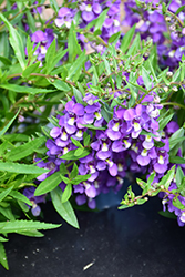 AngelMist® Spreading Bluebird Angelonia (Angelonia angustifolia 'Balangspird') at Wallitsch Garden Center