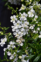 AngelMist® Spreading White Angelonia (Angelonia angustifolia 'AngelMist Spreading White') at Wallitsch Garden Center
