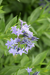 Blue Ice Star Flower (Amsonia tabernaemontana 'Blue Ice') at Wallitsch Garden Center