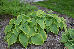 Victory Hosta (Hosta 'Victory') at Wallitsch Nursery And Garden Center