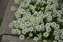 Snow Princess® Alyssum (Lobularia 'Snow Princess') at Wallitsch Garden Center