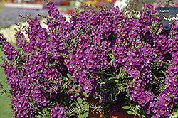 AngelMist® Spreading Dark Purple Angelonia (Angelonia angustifolia 'AngelMist Spreading Dark Purple') at Wallitsch Garden Center
