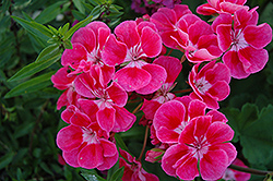 Fantasia® Strawberry Sizzle Geranium (Pelargonium 'Fantasia Strawberry Sizzle') at Wallitsch Garden Center