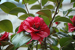 April Tryst Camellia (Camellia japonica 'April Tryst') at Wallitsch Nursery And Garden Center