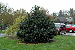 Robin™ Holly (Ilex 'Conin') at Wallitsch Garden Center