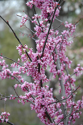 Forest Pansy Redbud (Cercis canadensis 'Forest Pansy') at Wallitsch Nursery And Garden Center