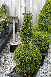 Green Mountain Boxwood (poodle form) (Buxus 'Green Mountain (poodle)') at Wallitsch Garden Center