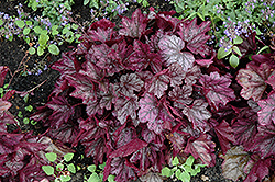 Dolce® Blackberry Ice Coral Bells (Heuchera 'Blackberry Ice') at Wallitsch Nursery And Garden Center