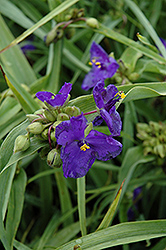 Zwanenburg Blue Spiderwort (Tradescantia x andersoniana 'Zwanenburg Blue') at Wallitsch Nursery And Garden Center