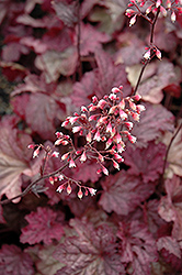 Berry Smoothie Coral Bells (Heuchera 'Berry Smoothie') at Wallitsch Garden Center