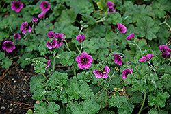 Perfect Storm Cranesbill (Geranium 'Perfect Storm') at Wallitsch Nursery And Garden Center