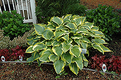 Seducer Hosta (Hosta 'Seducer') at Wallitsch Nursery And Garden Center